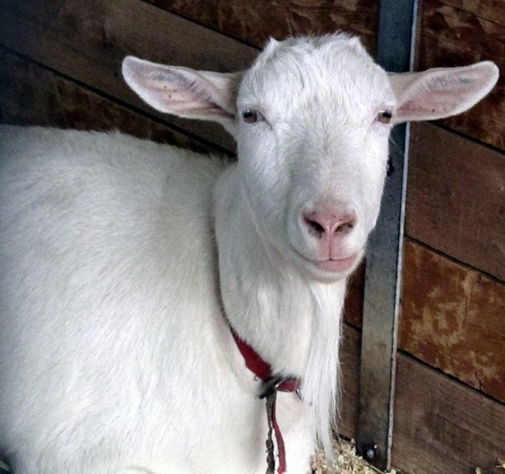 It's weird, but true. A spider-goat makes milk that contains spider silk. Photo: Supplied/Food For Mzansi